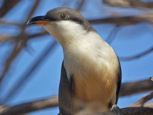 Mangrove Cuckoo aspects