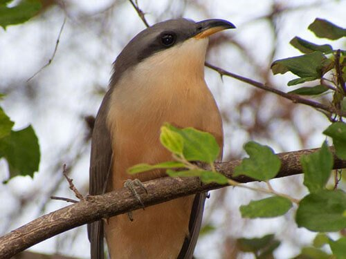 Mangrove Cuckoo closeup