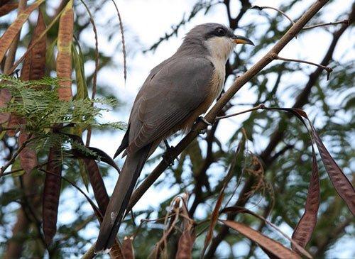 Mangrove Cuckoo habitat