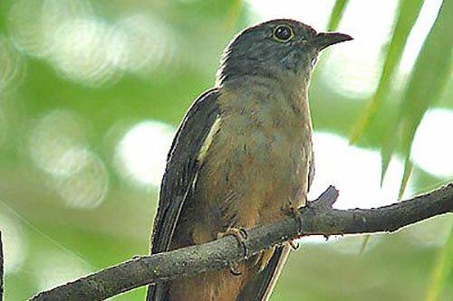 Moluccan Cuckoo closeup