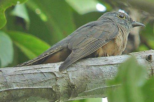 Moluccan Cuckoo habitat