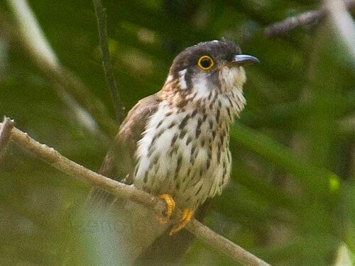 Moustached Hawk Cuckoo