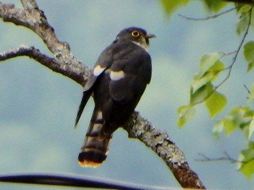 Northern Hawk Cuckoo