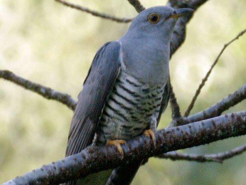 Oriental Cuckoo closeup