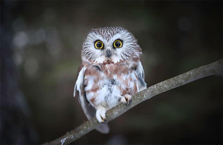 Owls of Michigan