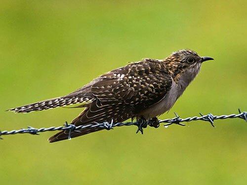 Pallid Cuckoo closeup