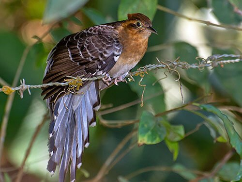 Pavonine Cuckoo closeup