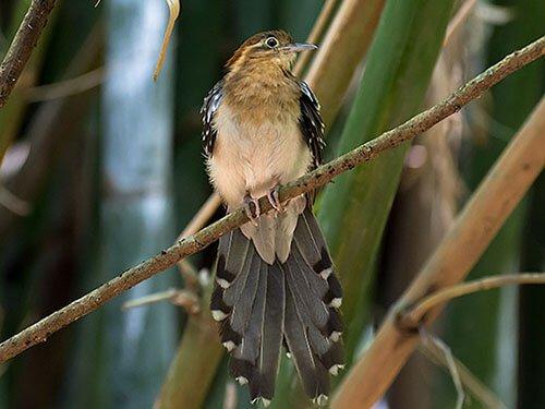 Pavonine Cuckoo habitat