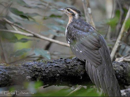 Pheasant Cuckoo closeup