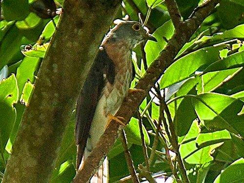 Philippine Hawk Cuckoo closeup