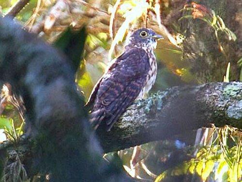 Philippine Hawk Cuckoo