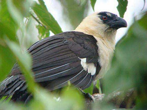 Pied Coucal