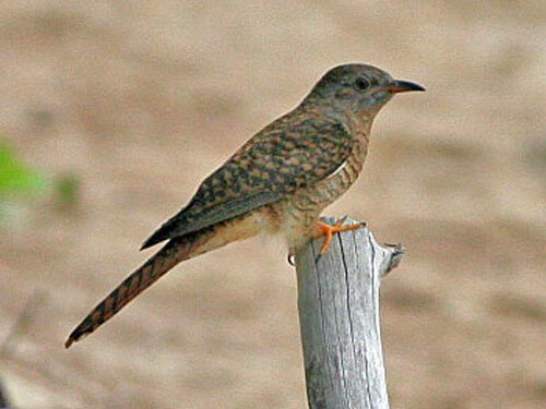 Plaintive Cuckoo aspects