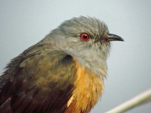 Plaintive Cuckoo closeup