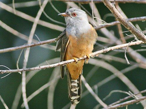 Plaintive Cuckoo habitat