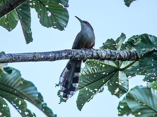 Puerto Rican Lizard Cuckoo habitat
