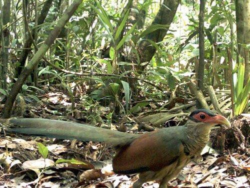 Red-Billed Ground Cuckoo