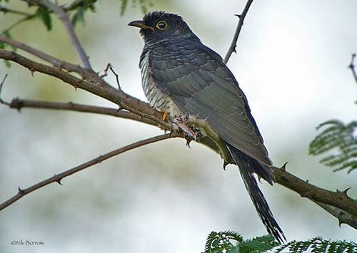 Red-Chested Cuckoo aspects