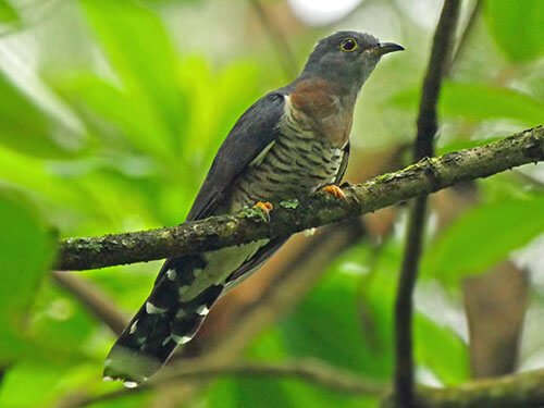 Red-Chested Cuckoo habitat