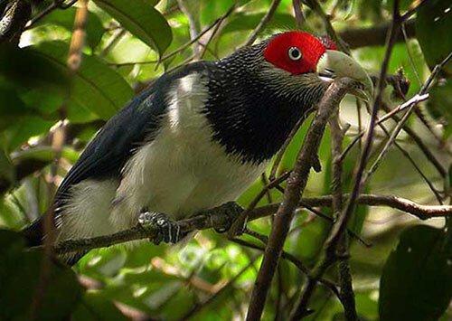 Red-Faced Malkoha closeup