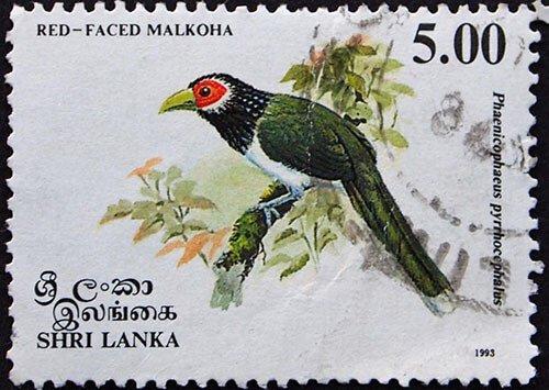 Red-Faced Malkoha habitat