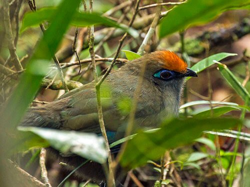 Red-Fronted Coua closeup