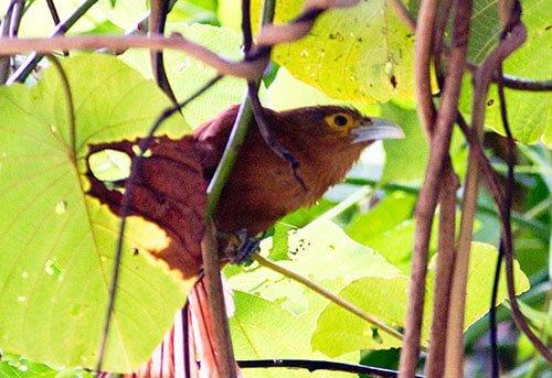 Rufous Coucal closeup