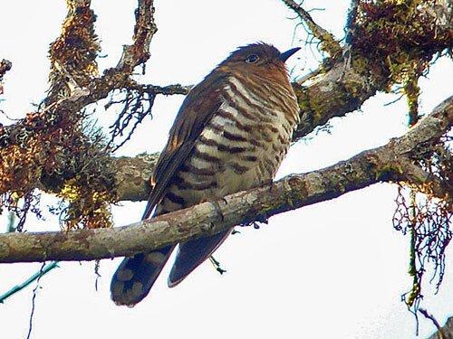 Rufous-Throated Bronze Cuckoo