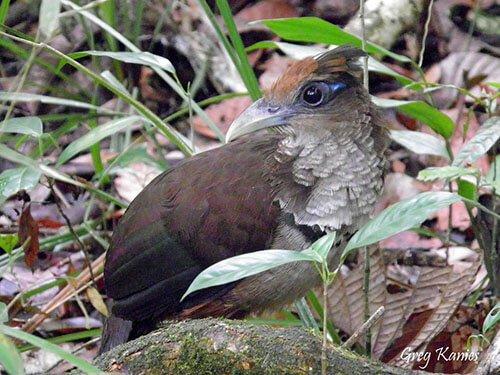 Rufous-Vented Ground Cuckoo closeup