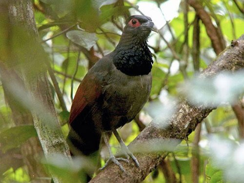 Rufous-Winged Ground Cuckoo
