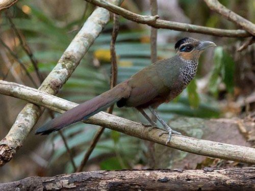 Scaled Ground Cuckoo closeup