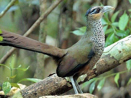 Scaled Ground Cuckoo