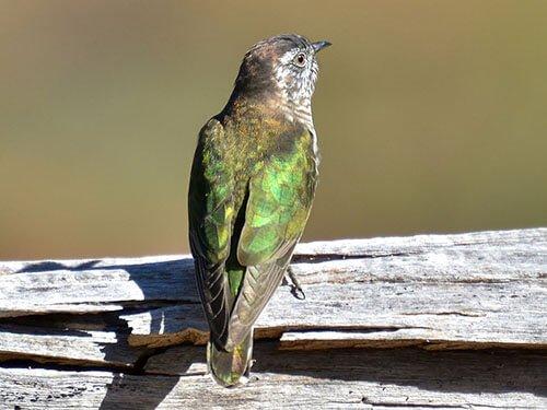 Shining-Bronze Cuckoo aspects