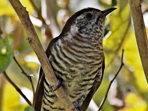 Shining-Bronze Cuckoo habitat