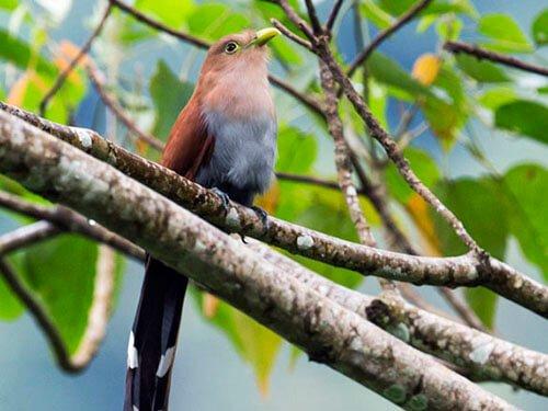 Squirrel Cuckoo habitat