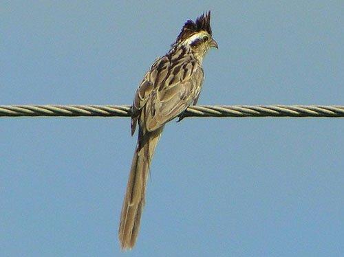 Striped Cuckoo closeup