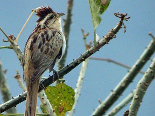 Striped Cuckoo habitat
