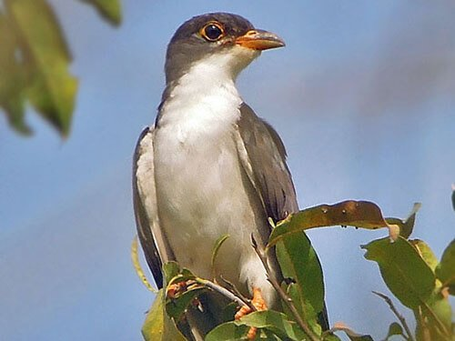 Thick-Billed Cuckoo closeup