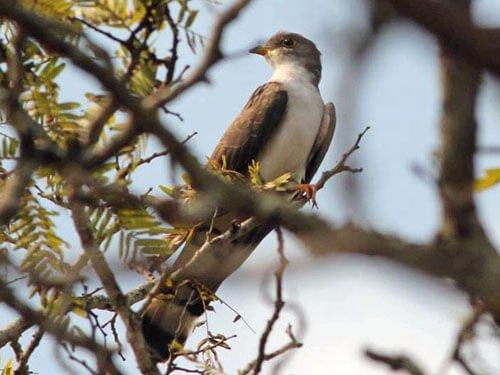 Thick-Billed Cuckoo habitat