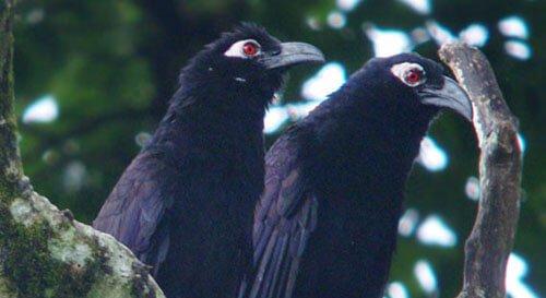 Violaceous Coucal closeup