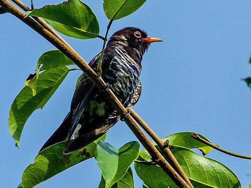 Violet Cuckoo closeup