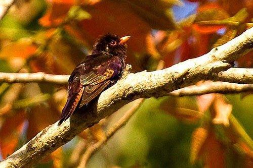 Violet Cuckoo habitat