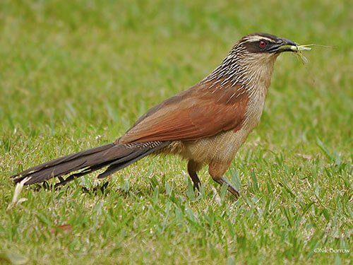 White-Browed Coucal aspects