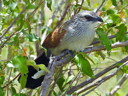 White-Browed Coucal closeup