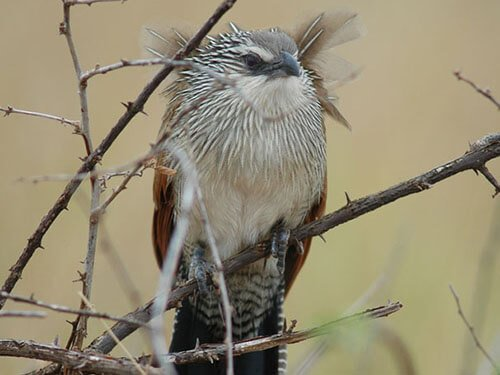 White-Browed Coucal habitat