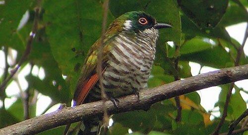 White-Eared Bronze Cuckoo closeup