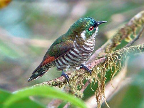White-Eared Bronze Cuckoo