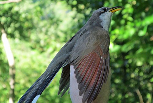 Yellow-Billed Cuckoo feathering