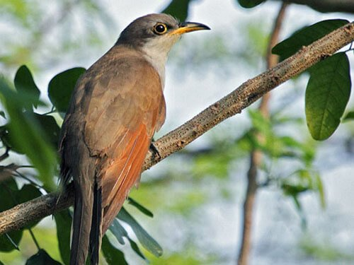 Yellow-Billed Cuckoo habitat