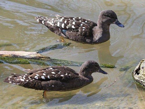 African Black Duck habitat